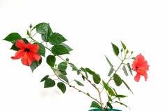 Härlig och stor blomma av den röda hibiskusen arkivfoton