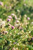 Härlig onopordum - grönt taggigt ogräs på solnedgång royaltyfri bild