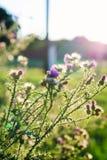 Härlig onopordum - grönt taggigt ogräs på solnedgång arkivbild