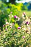 Härlig onopordum - grönt taggigt ogräs på solnedgång royaltyfri fotografi