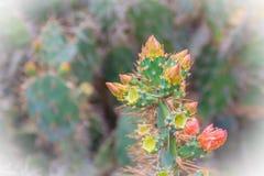 Härlig Opuntiacochenilliferaknoppning blommar på träd Opunti Arkivbild