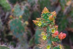 Härlig Opuntiacochenilliferaknoppning blommar på träd Opunti Royaltyfri Fotografi