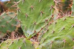 Härlig Opuntiacochenilliferatextur, art av kaktuns in Arkivbilder