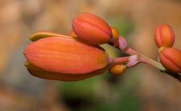 Härlig orange blom av den gemensamma ökenbusken Arkivbilder