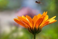 Härlig orange blomma av calendulaen på färgrik suddig backgro royaltyfri bild