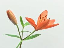 Härlig orange blomma med vit bakgrund Arkivfoto