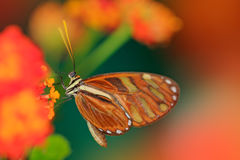 Härlig orange fjärilssebra Longwing, Heliconius charitonius Fjäril i naturlivsmiljö Trevligt kryp från Costa Rica butte Royaltyfri Bild