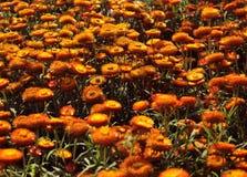 Härlig orange Helichrysumblommabakgrund Arkivfoton