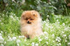 Härlig orange hund - pomeranian Spitz Leende för pomeranian husdjur för hund för valp som lyckligt gulligt spelar i natur på i bl royaltyfria bilder