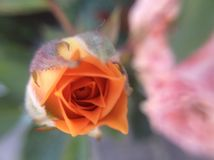 Härlig orange knopp Royaltyfri Fotografi