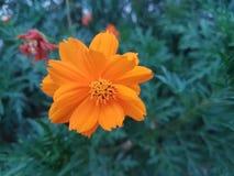 Härlig orange kosmosSulphureus blomma Royaltyfri Fotografi