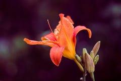 Härlig orange lilja i sommarträdgården arkivbild