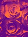 Härlig orange rosa röd gul och svart rosa blommaillustrationbakgrund och textur i trädgården arkivbilder