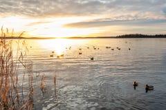 Härlig orange vinterlandskapsolnedgång över lugna vatten med gräsandandfåglar på havet arkivfoto