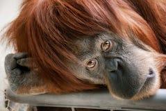 Härlig orangutang som ser in i kameran Arkivbilder