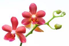 härlig orchid Royaltyfri Foto