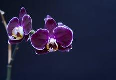 härlig orchidperillapurple Fotografering för Bildbyråer