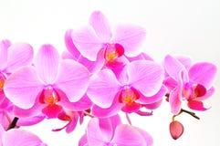 härlig orchidpurple Royaltyfri Foto