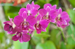 härlig orchidpurple Royaltyfri Fotografi