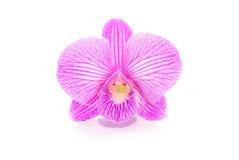 härlig orchidviolet Royaltyfria Bilder
