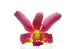härlig orchidviolet Arkivfoto