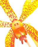 härlig orchidyellow Arkivbilder