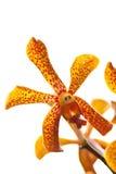 härlig orchidyellow Royaltyfri Fotografi