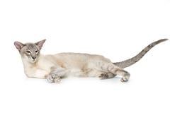 Härlig orientalisk siam katt royaltyfri foto