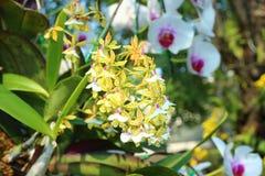 Härlig orkidé av Thailand Arkivfoto