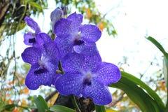 Härlig orkidé av Thailand Royaltyfri Bild