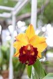 Härlig orkidé på suddig bakgrund, selektiv fokus Royaltyfri Foto