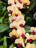 Härlig orkidé - phalaenopsis Arkivfoton