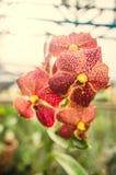 Härlig orkidéblom i morgonen arkivfoto
