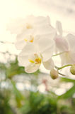 Härlig orkidéblom i morgonen royaltyfria foton
