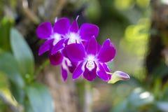 Härlig orkidéblomma för Closeup Royaltyfria Bilder