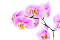 Härlig orkidéblomma på vit bakgrund Royaltyfri Foto
