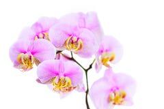 Härlig orkidéblomma på vit bakgrund Arkivfoton