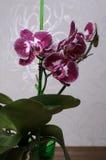 Härlig orkidéphalaenopsis Arkivfoto