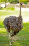 härlig ostrich royaltyfria foton