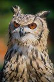 härlig owl Arkivfoton