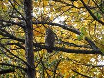 Härlig owl royaltyfri foto