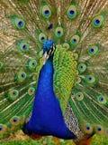 Härlig påfågel Arkivfoto