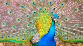 härlig påfågel Arkivbilder