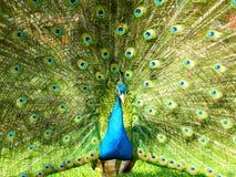 härlig påfågel arkivfoton