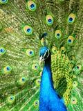 härlig påfågel Royaltyfria Foton
