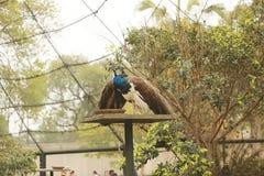 Härlig påfågel i en stor bur i zoo Royaltyfri Foto