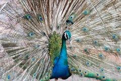 Härlig påfågel rätad ut fluffig svans med mång--färgade fjädrar: blått och grönt arkivfoto