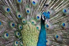 Härlig påfågel rätad ut fluffig svans med mång--färgade fjädrar: blått och grönt royaltyfria bilder