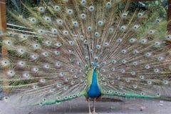 Härlig påfågel rätad ut fluffig svans med mång--färgade fjädrar: blått och grönt fotografering för bildbyråer