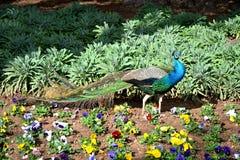 Härlig påfågel som omges med färgrika blommor Arkivfoto